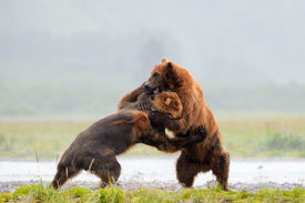 picture of omnivore  - Two Grizzly Bears fighting on rivers edge - JPG