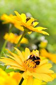 Bumble Bees On Sunflowers In Summer Garden