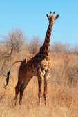 Young giraffe in bush (portrait orientation)