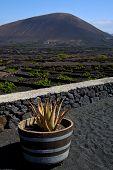 Cactus  Viticulture  Winery Lanzarote Spain