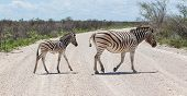 Burchells Zebra (equus Burchelli) With Young Crossing Gravel Road