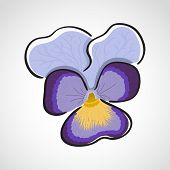 Viola (heartsease) Flower