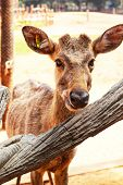 Sika Deer In Zoo