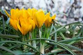 Yellow  Crocuses In The Spring