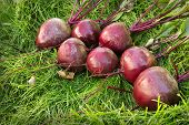 Washed Beet Lies On The Green Grass