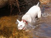 Bull Terrier nose in the water