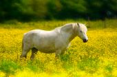 pic of white horse  - White horse standing in bright yellow rape field on a summers day - JPG