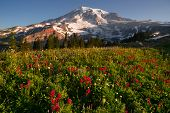 Cascade Range Rainier National Park Mountain Paradise Meadow Wildflowers