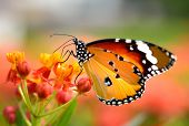 stock photo of summer insects  - Butterfly on orange flower in the garden - JPG