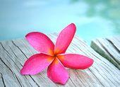 Pink Frangapani By Water