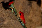 picture of poison arrow frog  - Pair of brightly colored granular poison arrow frogs in Costa Rica