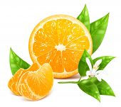 Vector illustration of fresh ripe oranges with leaves and blossom.