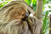 Linnaeus's Two-toed Sloth (choloepus Didactylus)