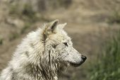 A profile of an Arctic Wolf
