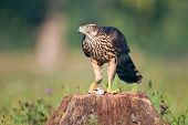 pic of goshawk  - Photo of northern goshawk on a stump with mouse - JPG