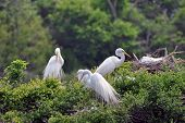 Graceful Snowy Egrets