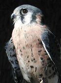 Hawk guentheri