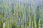 Echium In Nature