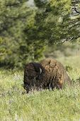 Bison Lays In The Meadow.