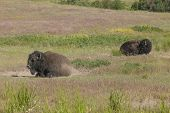 Two Bison Laying Down.