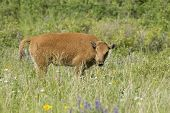 Bison Calf In Field.