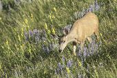 Deer In Grass.