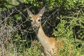 Whitetail Deer In Brush.