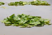Leaves Of Water Lily On Water Surface