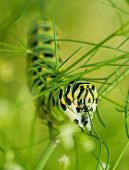 Closeup of a Black Swallowtail caterpillar feasting on dill