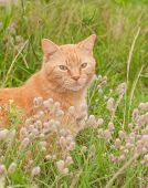Beautiful ginger tabby cat in tall grass with wildflowers, looking at the viewer