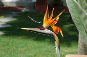 Bird-of-paradise (Strelitzia reginae)