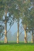 Gumtrees On The Foggy Farm