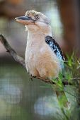 picture of blue winged kookaburra  - A close up shot of an Australian Kookaburra - JPG