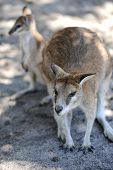 stock photo of wallaby  - A close up shot of an Australian Wallaby - JPG
