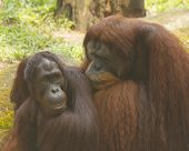 Pair of Orangutans