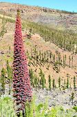Tajinaste Flower of Tenerife Island