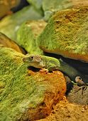 stock photo of terrarium  - Green lizard between rocks in the terrarium - JPG
