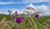 Thistle growing on a field in spring