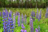 Wild Lupins Blossoming By Green Forest In Finland