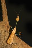 stock photo of tamil  - Well camouflaged mantis similar to the Violin Praying Mantis in Tamil Nadu South India - JPG