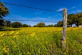 Old Barbed Wire Fence with Texas Yellow Wildflower Blowing in the Wind