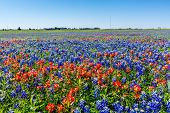 A Beautiful Wide Angle View of Bright Orange Paintbrush and Bluebonnet Wildflowers