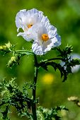 A Couple of Beautiful White Prickly Poppy (Argemone albiflora) Wildflowers