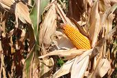 agriculture background of dry maize ear in bright sunlit corn field ready for harvesting