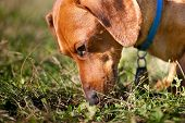 Closeup Of Miniature Dachshund Sniffing Grass