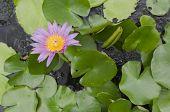 Blooming lotus (lat. Nelumbo)