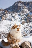 Fluffy Cat Outside In Winter Mountains