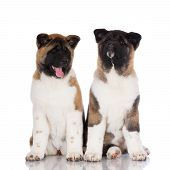 two adorable american akita puppies together