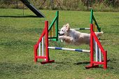 foto of overcoming obstacles  - a golden retriever that jumps an obstacle of dog agility