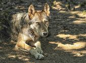 Gray, timber or western wolf, canis lupus